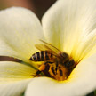 Bee and Flower 534